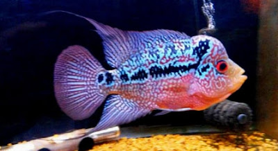 gambar aquarium untuk ikan louhan
