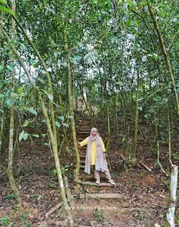 pohon teh yang dibiarkan tinggi