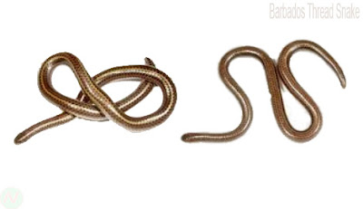 Barbados thread snake