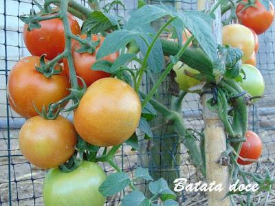 Cultivo e tratamento do tomateiro