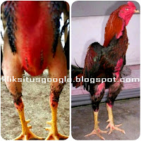 Tips Ayam Mabung Sempurna