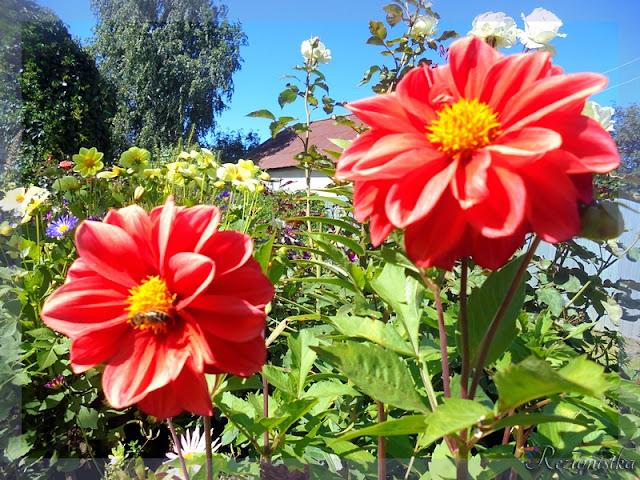 однолетние цветы в саду