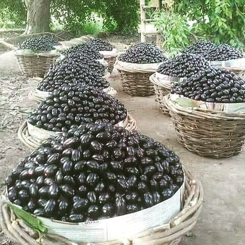 Jamun or Black Plum Juicy and Delicious Summer Fruit
