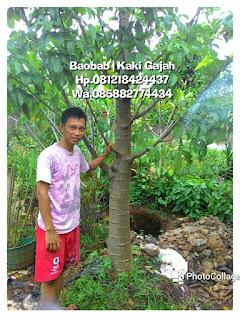 Jual pohon baobab atau tanaman kaki gajah pohon purba dengan harga murah
