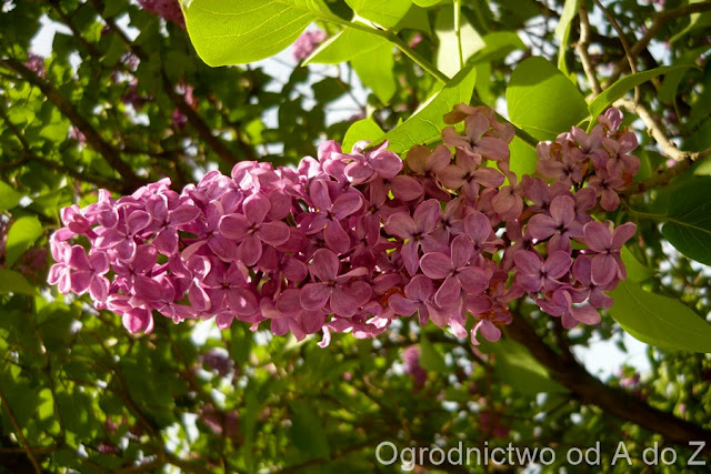 Kwiatostan lilaka pospolitego