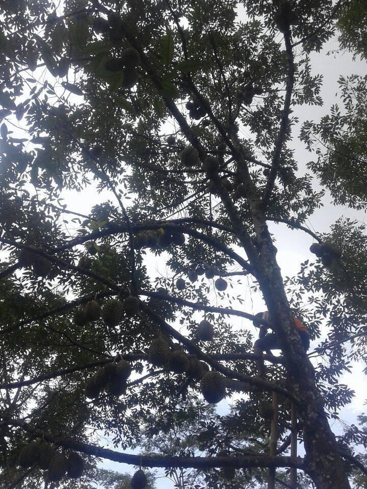 Durian Alasmalang Kemranjen Banyumas (WA, TLEP, SMS 0877 ...
