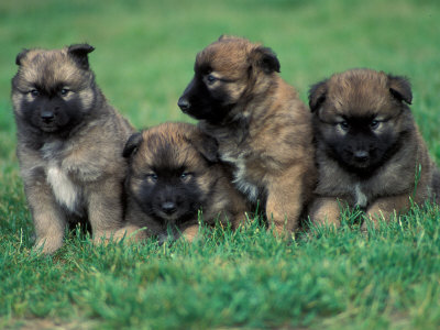 Cute Puppies And Dogs Pictures Belgian Shepherd Malinois Characteristics And Pictures
