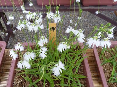 坐摩神社のサギソウ 「輝」