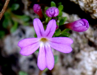 Flores violetas del erino de roca (Erinus alpinus)