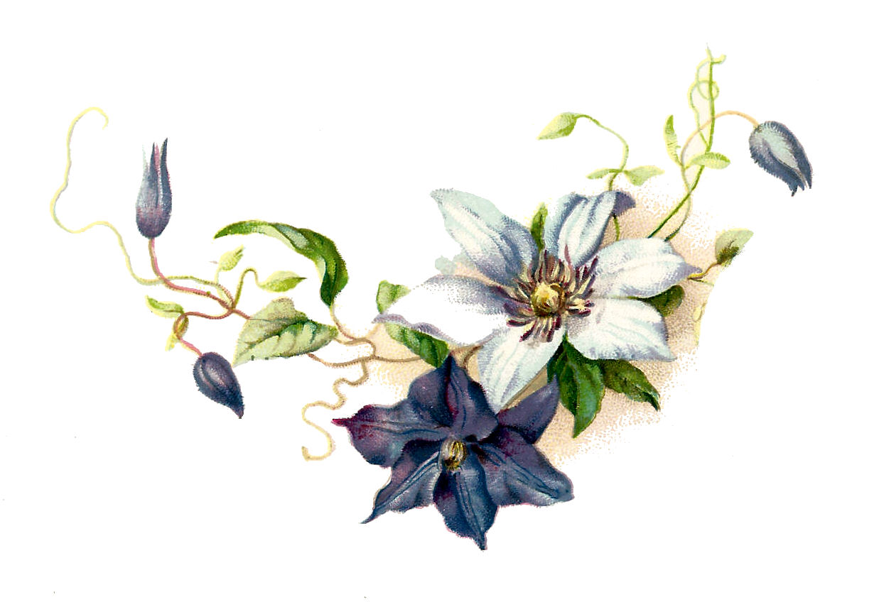 Free Clematis Flower Graphic Pretty Vintage Blue And White Clip Art