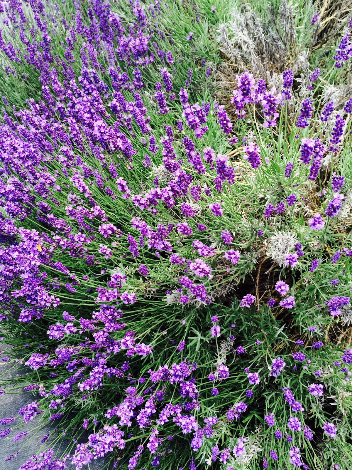 News From The Hill: White Oak Lavender Farm