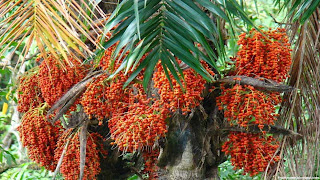peach palm fruit images wallpaper