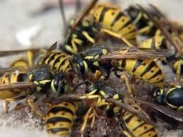 Hornet's saliva (σάλιο σφήκας)