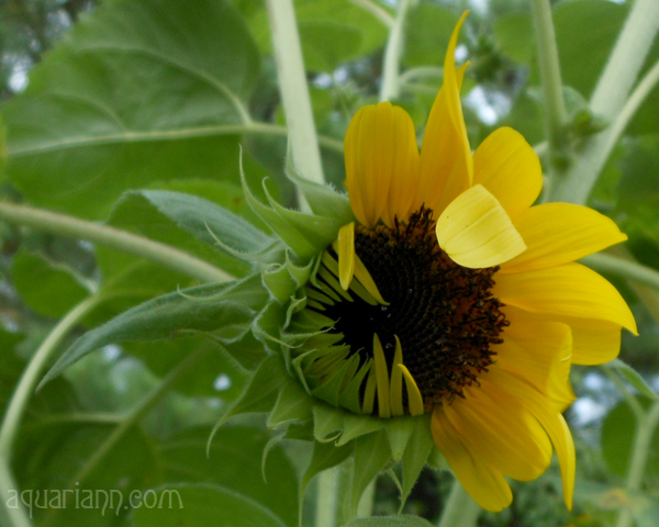 Half Open Sunflower Photo by Aquariann