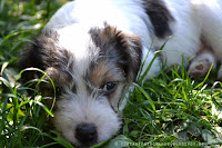 http://fineartfotografie.blogspot.de/2014/01/jack-russell-terrier-baby-nelly.html