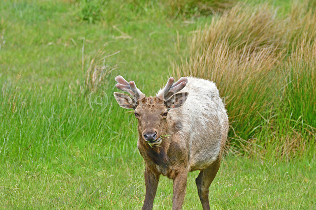 Tule Elk munching grass