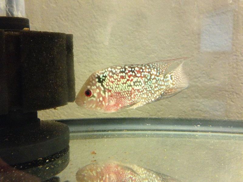 Gambar Ciri Ciri Ikan Hias sakit Atau Stres-Ikan Louhan