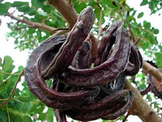Χαρουπιά Ξυλοκερατιά Ceratonia siliqua