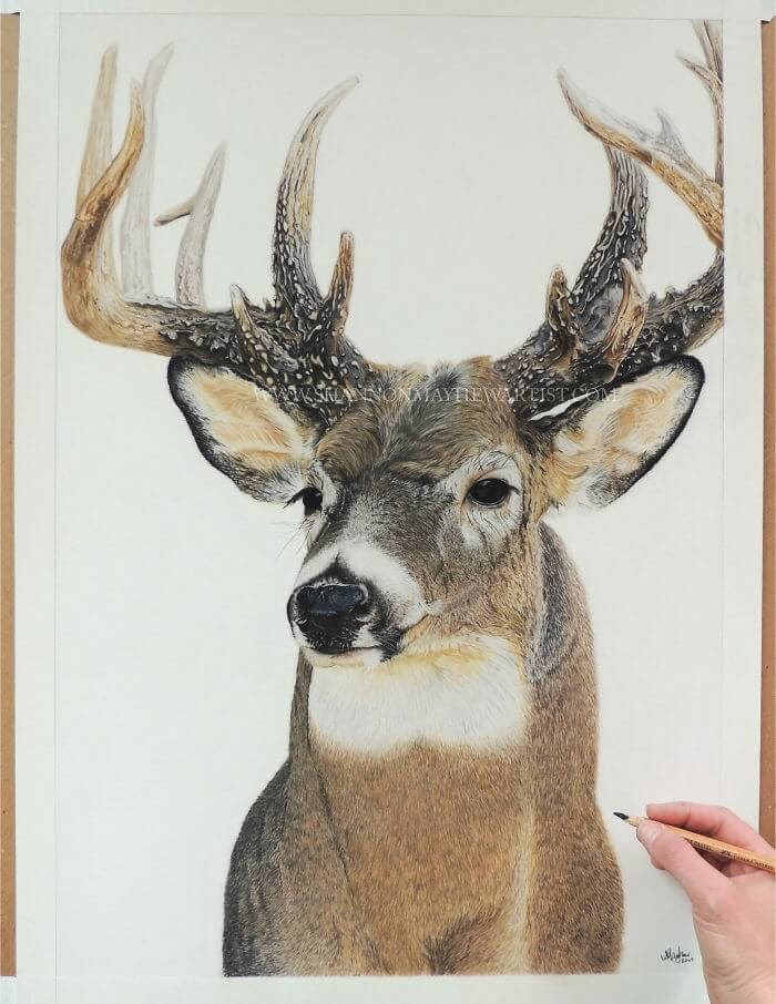 01-Stag-Shannon-Mayhew-Drawings-by-Domestic-and-wildlife-Animal-Artist-www-designstack-co