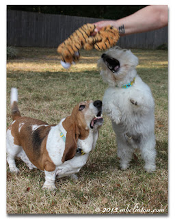 Basset and Westie trying to grab tiger toy