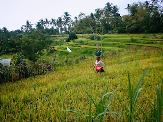 Farmers Wife In The Middle Of A Rice Field After The Offerings Ringdikit, North Bali, Indonesia