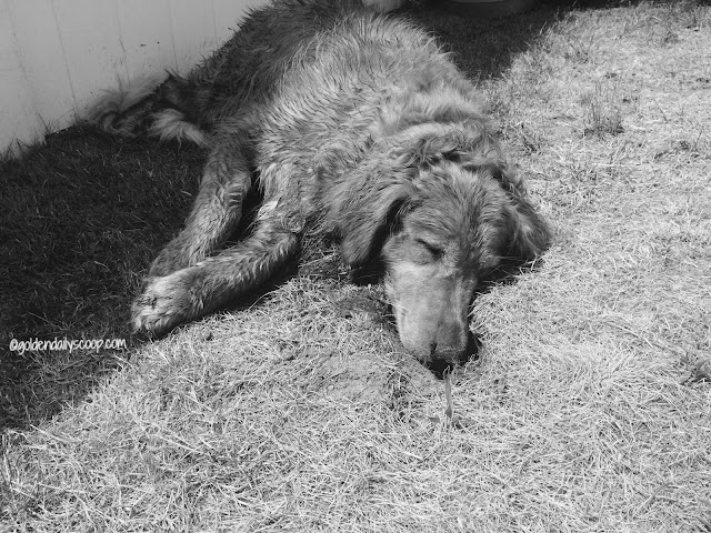 golden retriever dog falls asleep in chipmunk hole #blackandwhitesunday