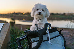 A Maltese small dog breed with Short Hair in Bicycle Basket