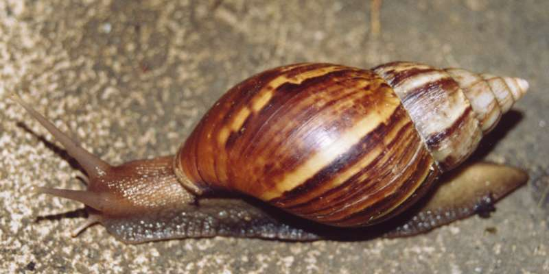 Achatina_fulica_East_African_snail