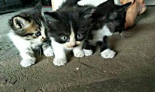 Harga Kucing Anggora anakan dan dewasa terbaru 2017
