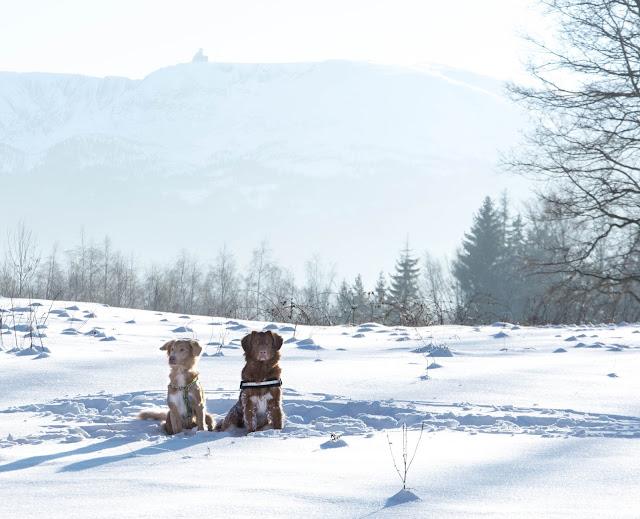toller, zima, z psem w góry, pies w górach, karkonosze z psem