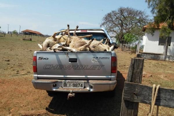 49 carneiros foram mortos com mordida no pescoço em região de Presidente Prudente