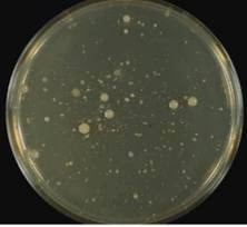 Bacterial Colonies