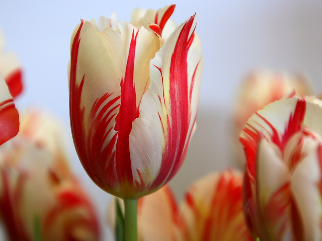 Tulip Flower, Tulip Flowers Backgrounds Wallpapers