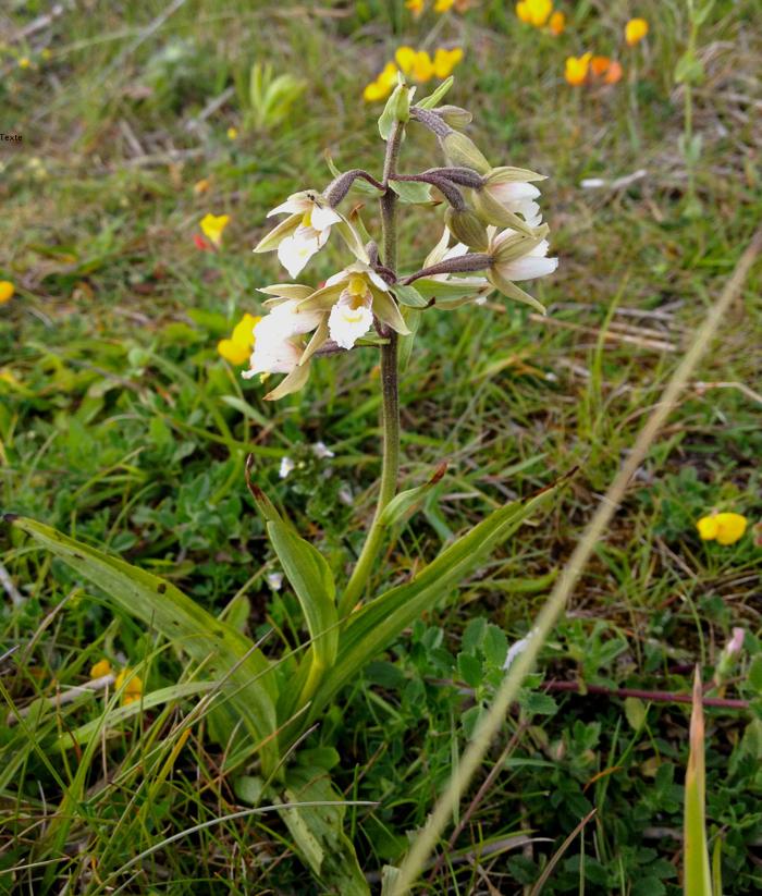 Orchidée épipactis des marais