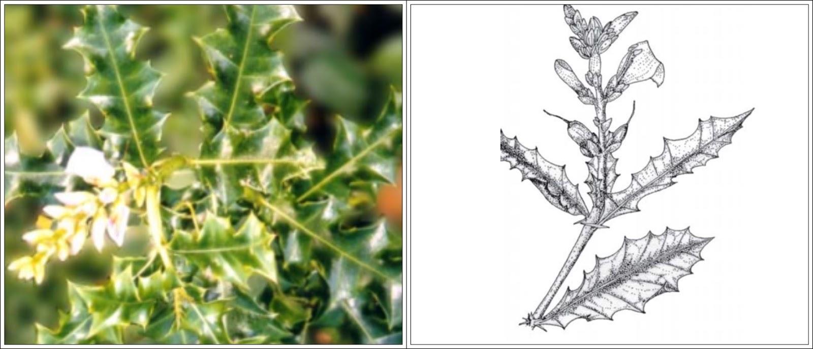 Mengenal Mangrove  Acanthus ilicifolius L  AanBLOG