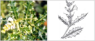 Mengenal Mangrove : Acanthus ilicifolius L.