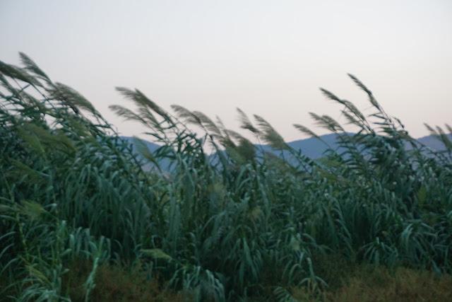 צמחיית קנה עמק המעיינות