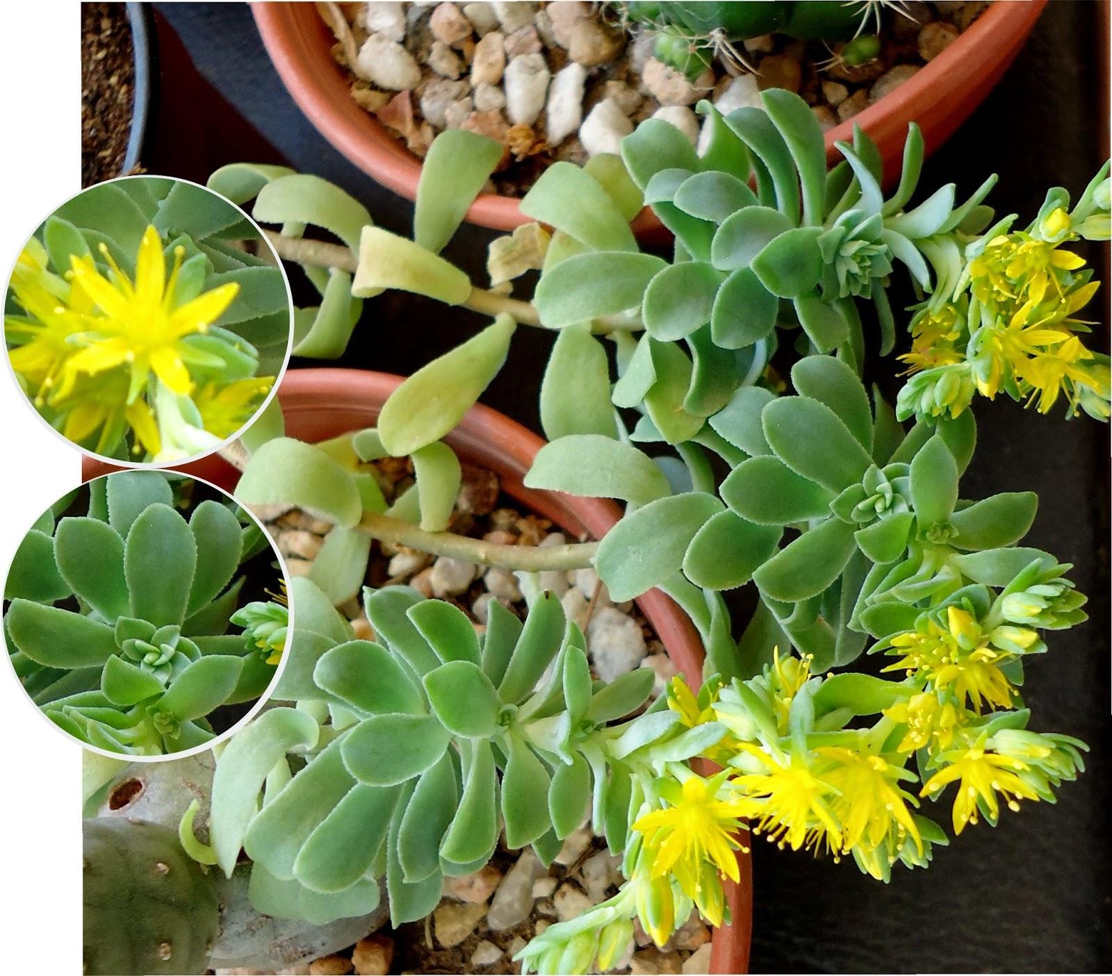 Tutuna mituna sedum for Nombres de cactus y suculentas