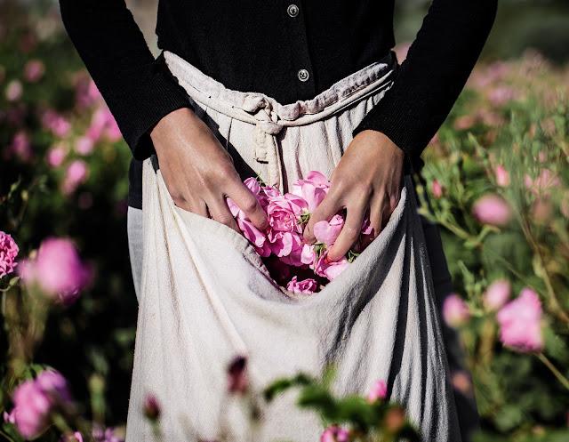 Jardim Dior  na França, colheita das flores