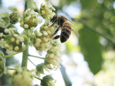 Abelha africanizada (fotografada em 2009 no campinho de terra da Vila Nova durante experiência do apicultor Nikolaos Argyrios)