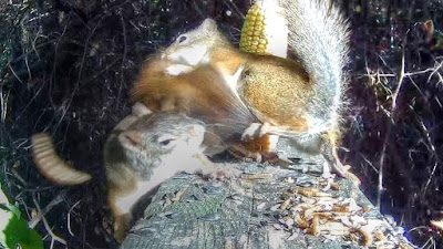 Squirrel Fight In The Forest
