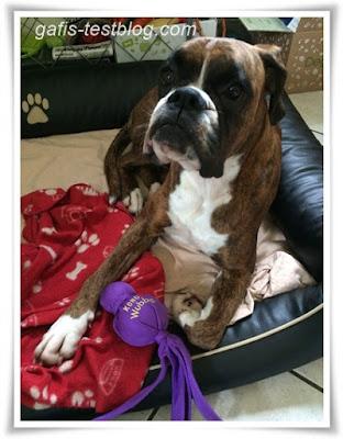 Boxer Amys neuer Kong Wubba