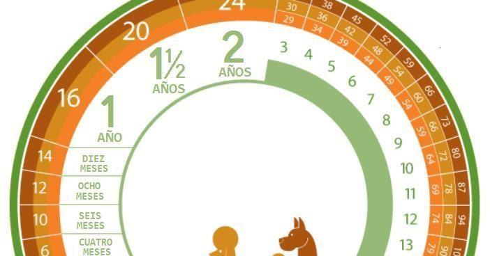 Calendario Perruno.Chow Chow Tabla De Edad Del Perro Humano
