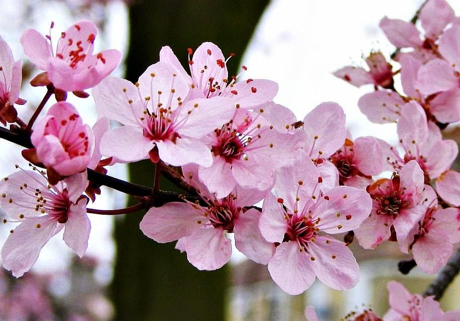Bunga Sakura Tentang Jepang