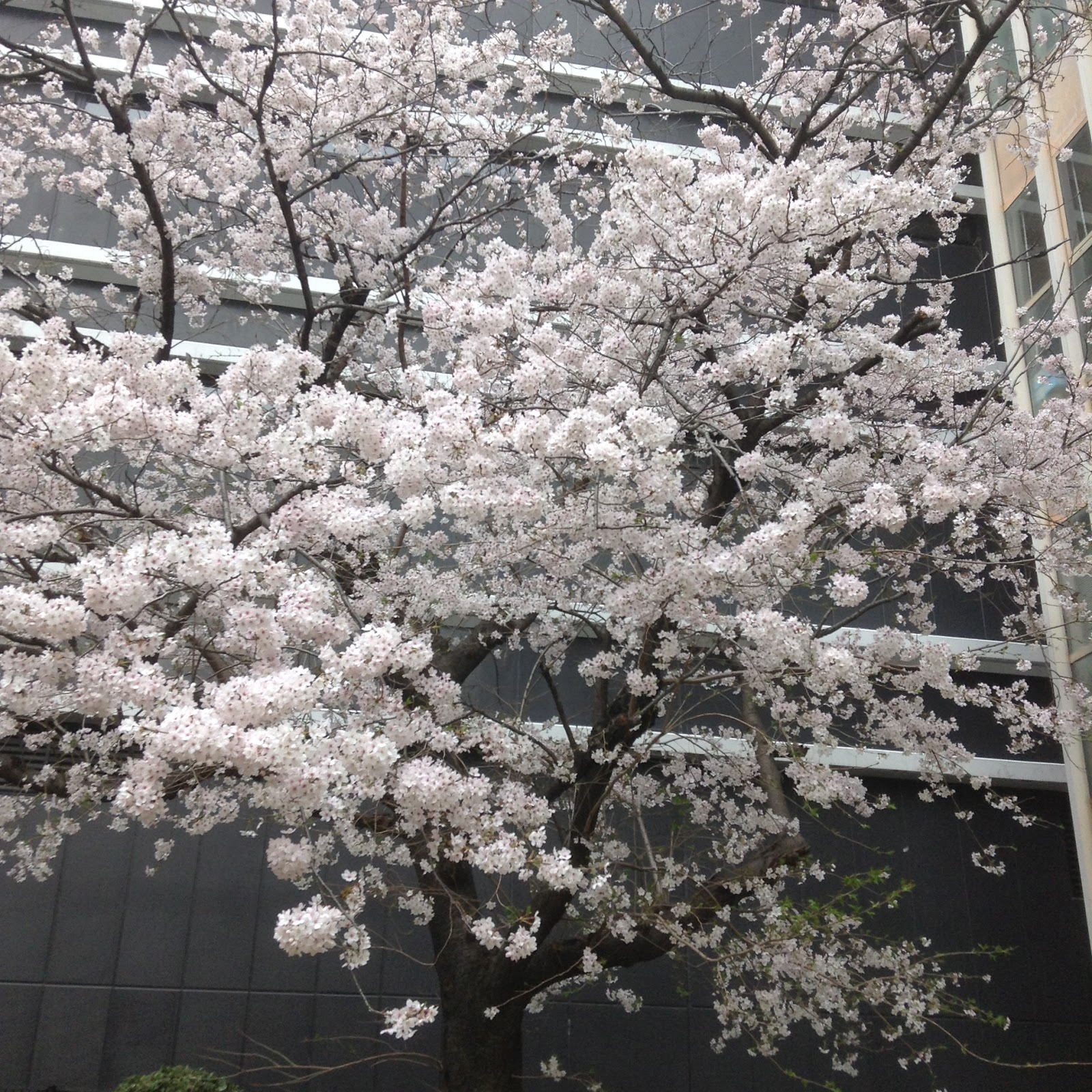 Hiroshima Sakura
