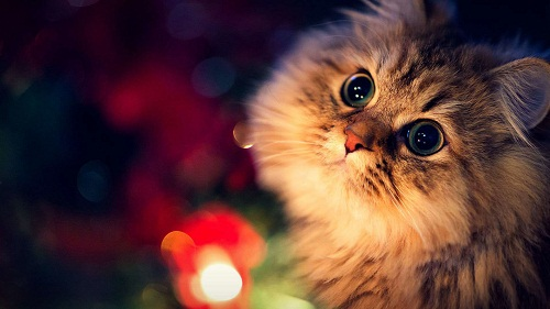 Cute Cat HD Pics