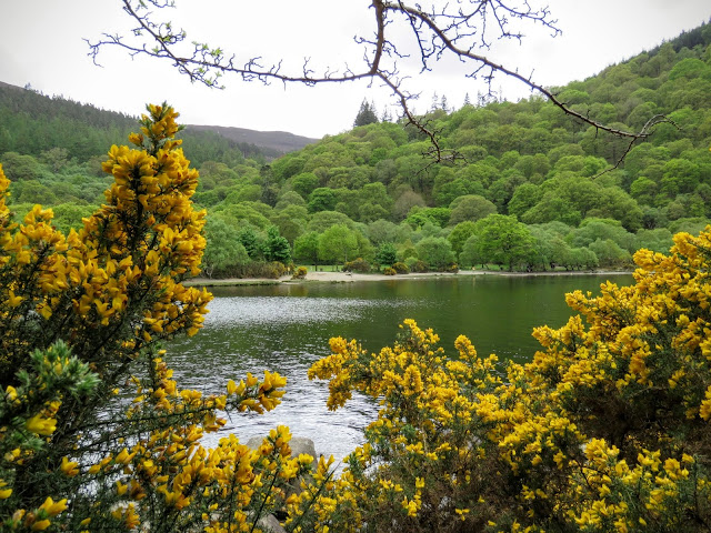 Wicklow Mountains Tour - Gorse along the Upper Lake at Glendalough.