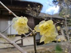 浄智寺のロウバイ