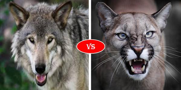 Cougar Puma Vs Gray Wolf