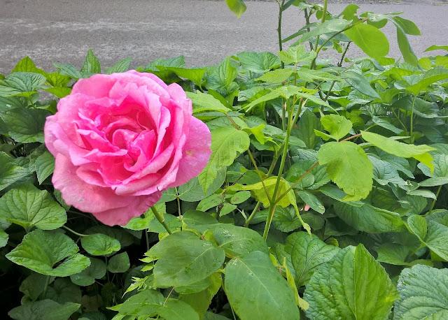 ruza, rose